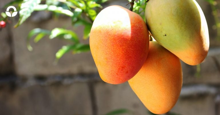 Know your Mangoes – Mango Cultivars South Africa
